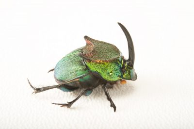 Picture of a rainbow scarab (Phanaeus difformis), a type of North American dung beetle at the Dallas Zoo.