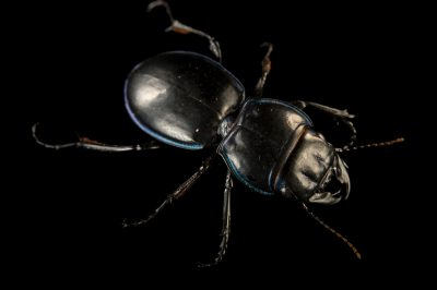 Picture of a blue-margined ground beetle (Pasimachus marginatus) at the Dallas Zoo.