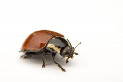 Picture of a no-spotted ladybug, Cycloneda sanguinea, collected in the wild near Salt Lake City, Utah.