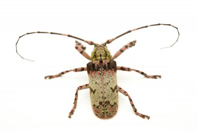 A longhorn beetle (Moechotypa marmorea( from the wild at the Endangered Primate Rescue Center in Cuc Phuong National Park, Vietnam.