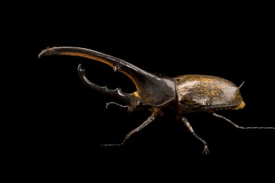 Photo: A male Western hercules beetle (Dynastes hercules hercules) at the Houston Zoo.