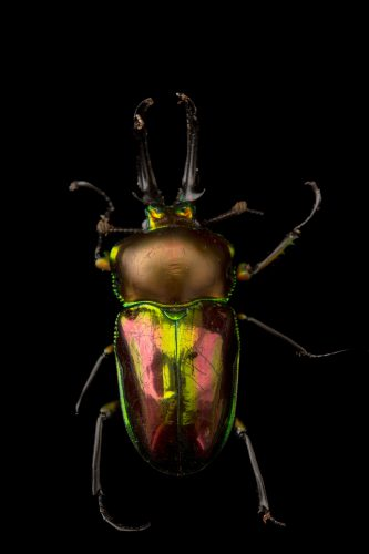 Picture of a male rainbow stag beetle (Phalacrognathus muelleri) at the Houston Zoo.