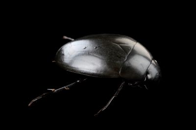 Photo: Water scavenger beetle (Hydrophilus sp.) at the Insectarium in New Orleans.