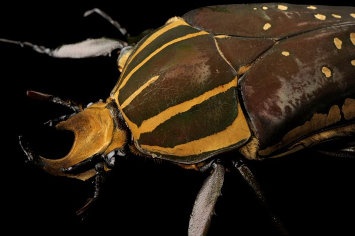 Photo: African flower chafer (Mecynorrhina polyphemus) at the Insectarium in New Orleans.