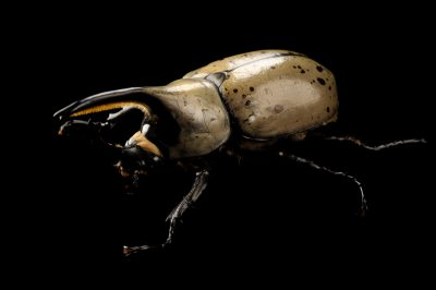 Photo: Eastern hercules beetles (Dynastes granti) at the Insectarium in New Orleans.