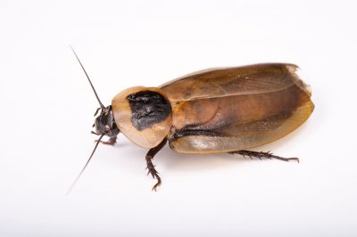 Photo: A Central American forest cockroach (Blaberus discoidalis) at the St. Louis Zoo.