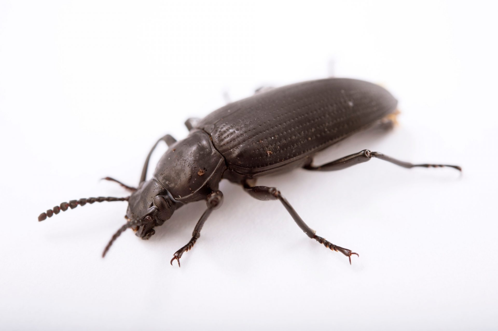 Picture of a darkling beetle (Zophobas morio) at the St. Louis Zoo.