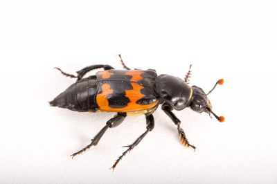 Picture of a common burying beetle (Nicrophorus marginatus) at the St. Louis Zoo.