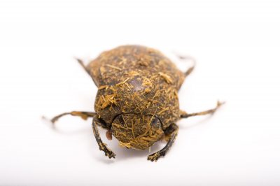 Picture of a long-legged dung beetle (Deltochilum gibbosum) at the St. Louis Zoo.