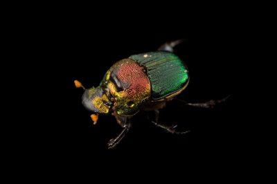 A rainbow scarab (Phanaeus vindex) with parasites riding on its neck, at the Houston Zoo.