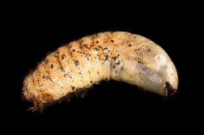 Photo: Grub or larva of the brown rhinoceros beetle (Xylotrupes gideon) at the St. Louis Zoo.