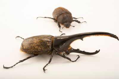 Photo: Two Western hercules beetles (Dynastes hercules hercules) at the Houston Zoo.