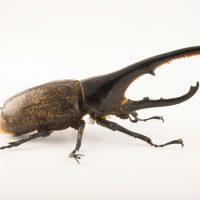 Photo: A Western hercules beetle (Dynastes hercules hercules) at the Houston Zoo.