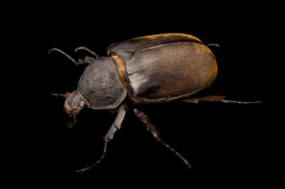 Photo: A female Elephant beetle (Megasoma elephas elephas) at the Houston Zoo.