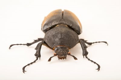 Photo: A female Elephant beetle (Megasoma elephas elephas) at the Houston Zoo.