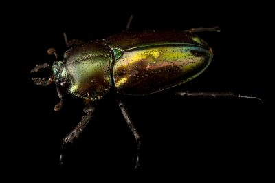 Picture of a female rainbow stag beetle (Phalacrognathus muelleri) at the Houston Zoo.