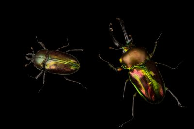 Picture of a male and a female rainbow stag beetle (Phalacrognathus muelleri) at the Houston Zoo.