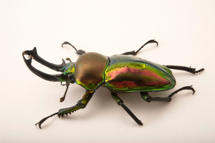 Picture of a male rainbow stag beetle, Phalacrognathus muelleri, at the Houston Zoo.