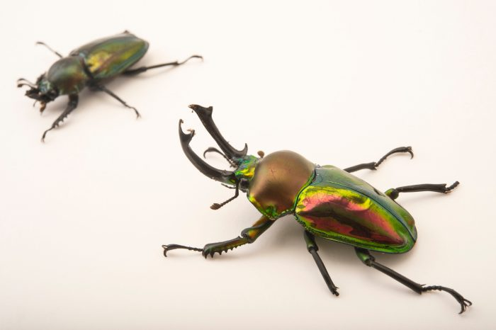 Picture of a male and a female rainbow stag beetle, Phalacrognathus muelleri, at the Houston Zoo.