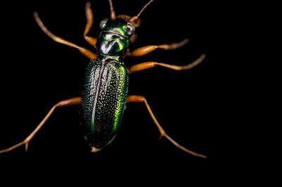 Photo: Virginia metallic tiger beetle (Tetracha virginica) caught in the Tide Swamp Unit of Big Bend Wildlife Management Area.