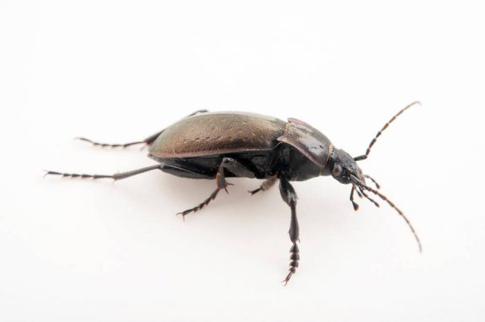 Photo: Scarab beetle (Carabus hortensis) at the Plzen Zoo in the Czech Republic.