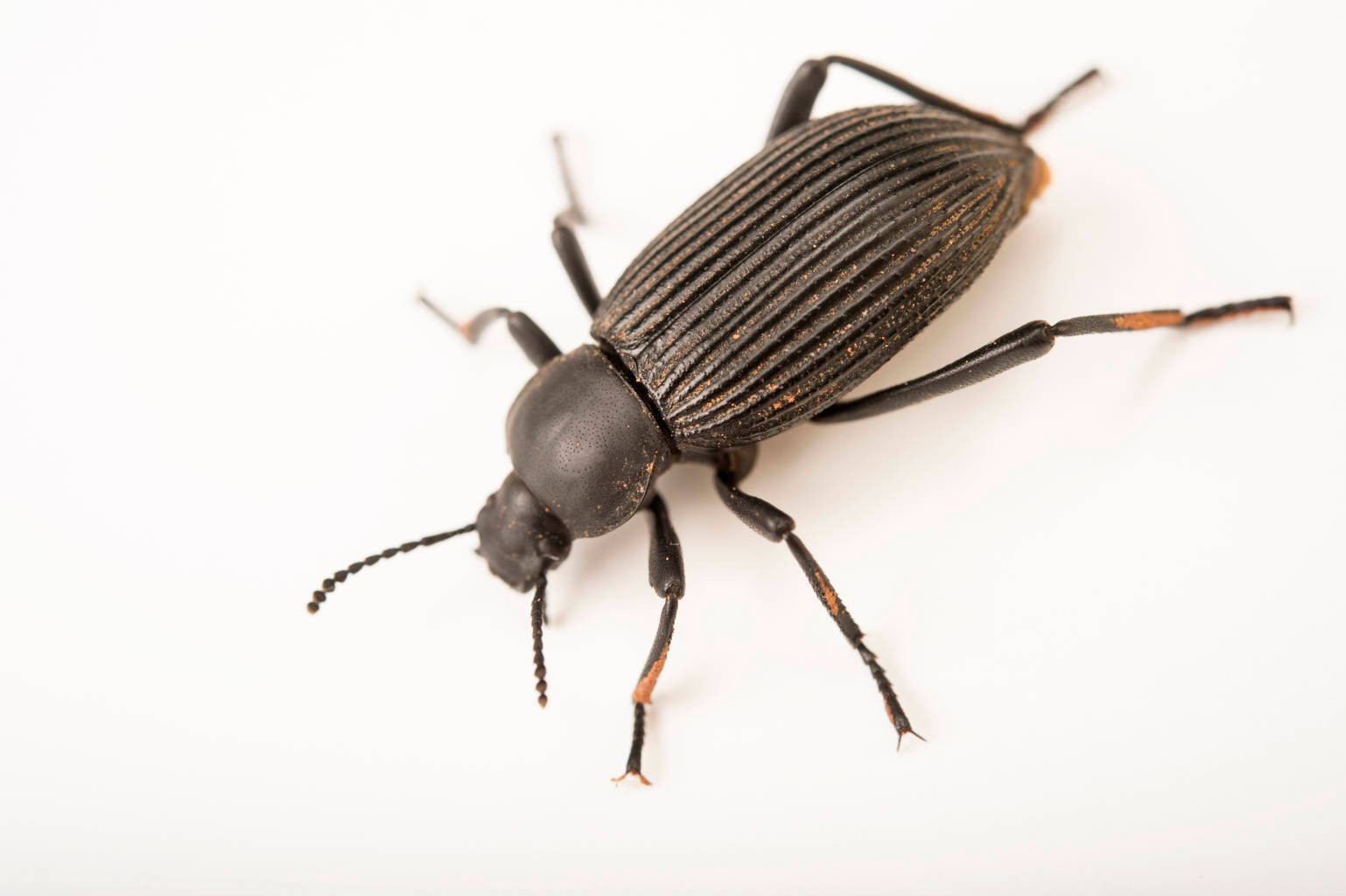 Photo: Darkling Beetle (Eleodes obscurus) at the Loveland Living Planet Aquarium in Draper, UT.
