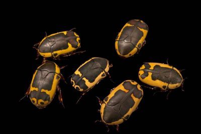 Photo: Sun beetles (Pachnoda savigny), at Parco Natura Viva in Bussolengo, Italy.
