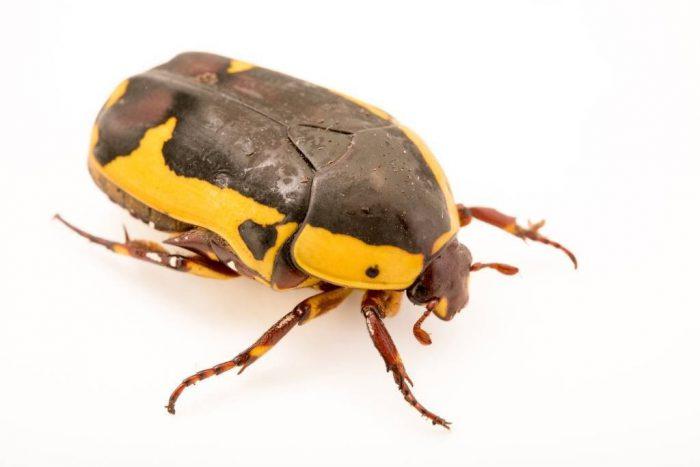 Photo: A sun beetle (Pachnoda savignyi) at Parco Natura Viva in Bussolengo, Italy.