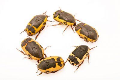Photo: Sun beetles (Pachnoda savignyi) at Parco Natura Viva in Bussolengo, Italy.