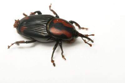 Photo: A darkling beetle, Eleodys armata, at the Houston Zoo.