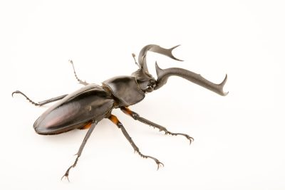 Photo: Stag beetle (Rheatulus didieri) at Malacca Butterfly and Reptile Sanctuary.