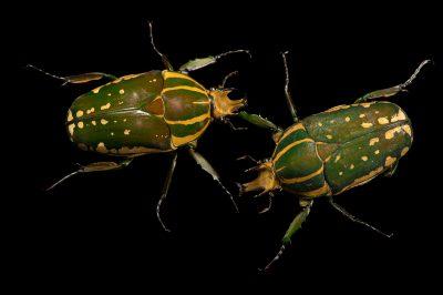 Photo: Flower beetles (Mecynorrhina polyphemus confluens) at the Budapest Zoo.