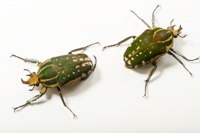 Photo: Flower beetles (Mecynorrhina polyphemus confluens) at the Budapest Zoo.