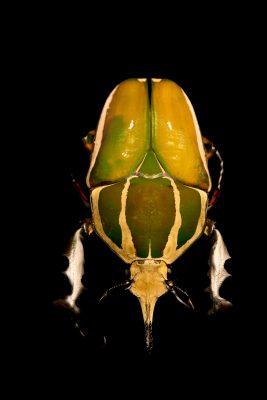Photo: Giant flower beetle (Mecynorhina torquata torquata) at the Houston Zoo