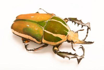 Photo: Giant flower beetle (Mecynorhina torquata torquata) at the Houston Zoo.