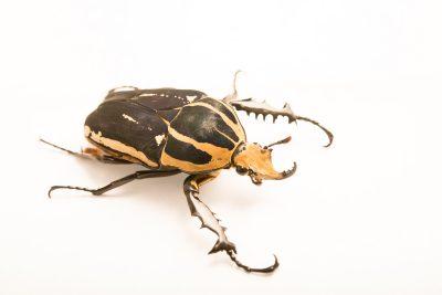 Photo: Giant flower beetle (Mecynorhina torquata ugandensis) at Houston Zoo