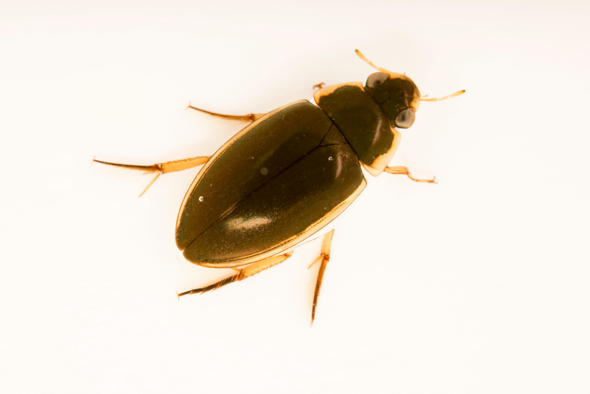 Photo: Aquatic beetle (Tropisternus lateralis) at Cedar Point Biological Station.