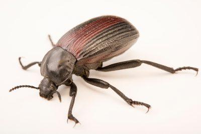 Photo: Darkling beetle (Eleodes suturalis) at Cedar Point Biological Station.