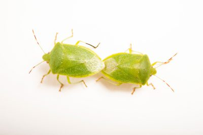 Photo: Mating southern green stink bugs (Nezara viridula virgifera) at the University of Florida in Gainesville.