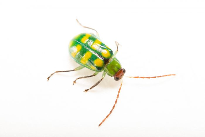 Photo: A Florida rootworm beetle (Diabratica balteata) at the University of Florida in Gainesville.