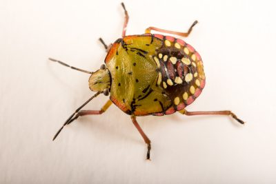 Photo: A nymph of a southern green stink bug (Nezara viridula virgifera) at the University of Florida in Gainesville.