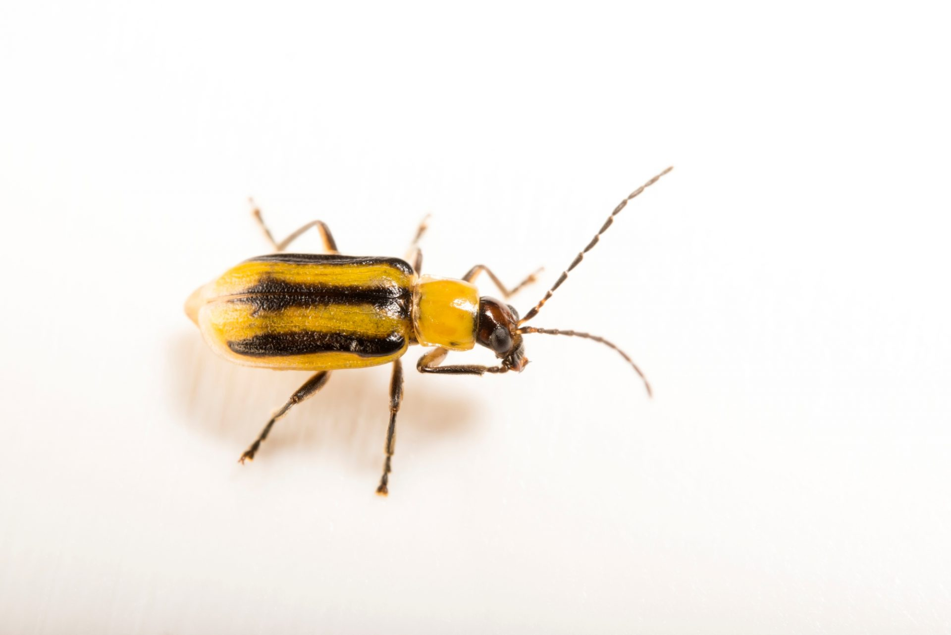Photo: Western corn rootworm beetle (Diabrotica virgifera virgifera) at the University of Florida at Gainesville.