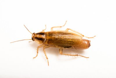 Photo: A German cockroach (Blattella germanica) at the Urban Entomology Lab at the University of Florida at Gainesville.