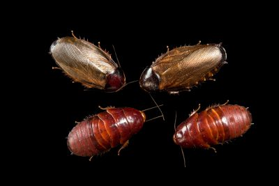 Photo: Surinam cockroaches (Pycnoscelus surinamensis) at the Urban Entomology Lab at the University of Florida at Gainesville.