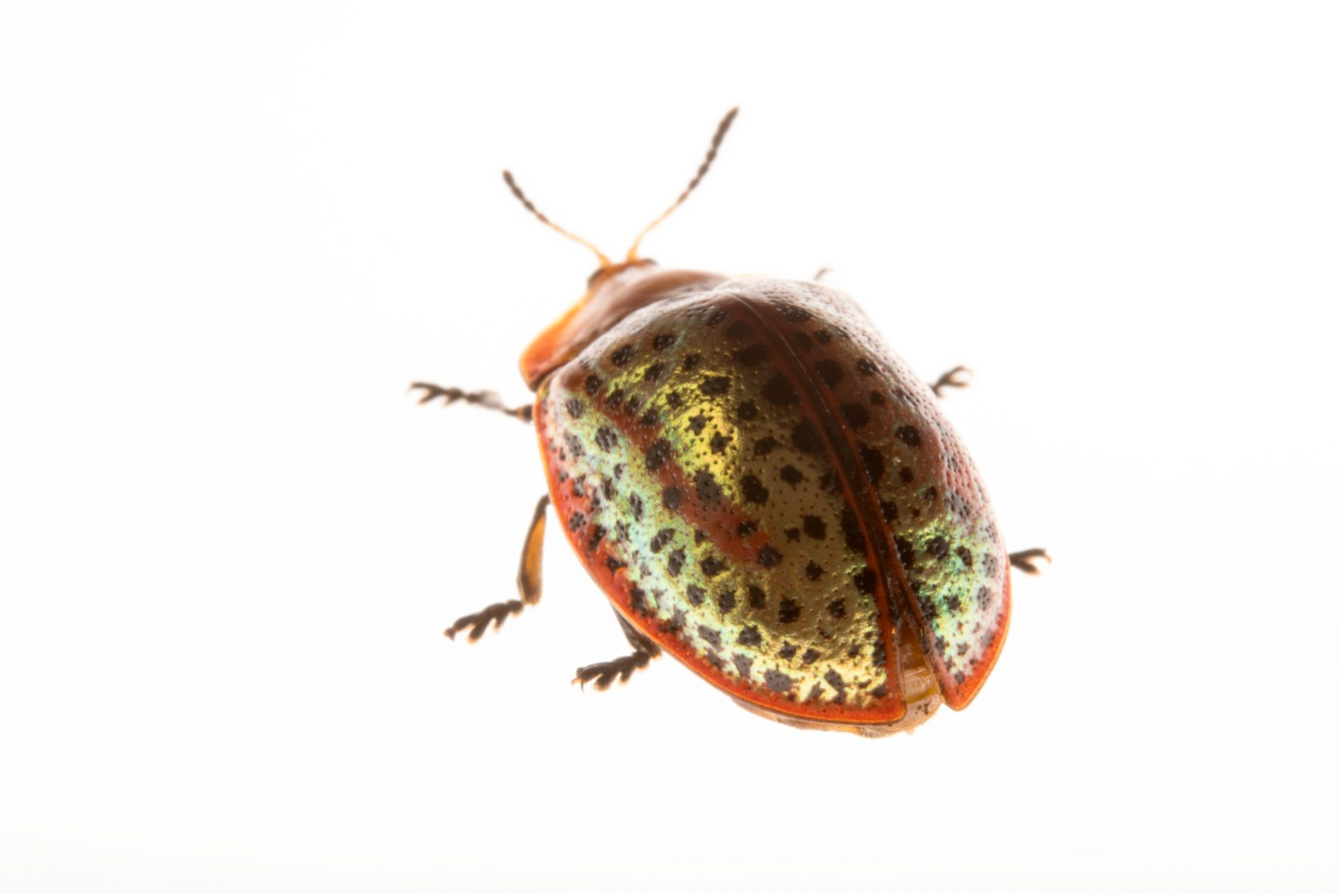 Photo: A tortoise beetle (Chelymorpha cribraria) at the Urban Entomology Lab at the University of Florida at Gainesville.