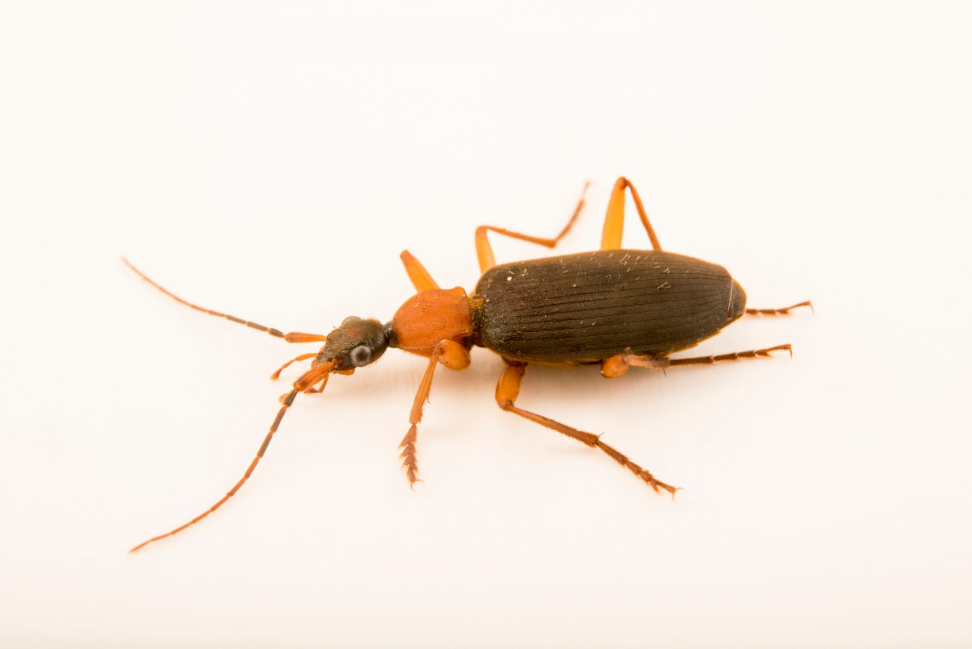 Photo: False bombardier beetle (Galerita bicolor) at the Audubon Insectarium.