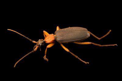 Photo: False bombardier beetle (Galerita bicolor) at the Audubon Insectarium.