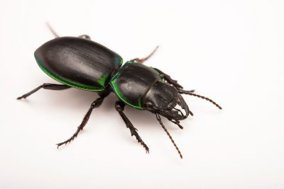 Photo: Green-bordered ground beetle (Pasimachus viridans) at the Bugarium at the Albuquerque BioPark.