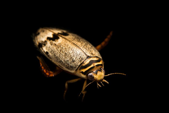 Photo: Mottled diving beetle (Thermonectus nigrofasciatus) at the Bugarium at the Albuquerque BioPark.