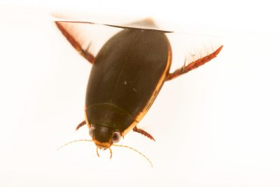 Photo: Predaceous diving beetle (Cybister fimbriolatus) at the Bugarium at the Albuquerque BioPark.